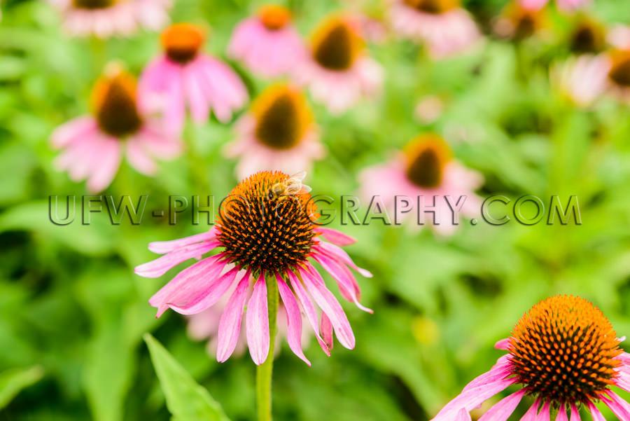 Blossom Honeybee Beautiful Flower Head Echinacea Coneflower Clos