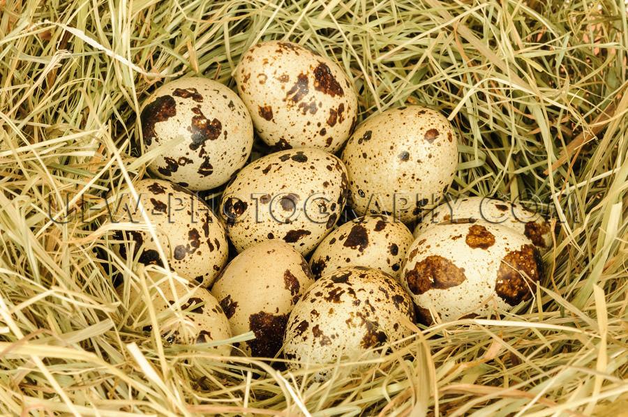 Bird's nest several brown-beige dotted eggs full frame close S