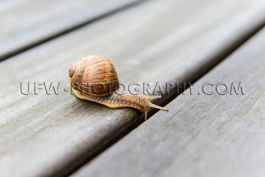 Curious roman snail looking down gap patio boards planks Stock I
