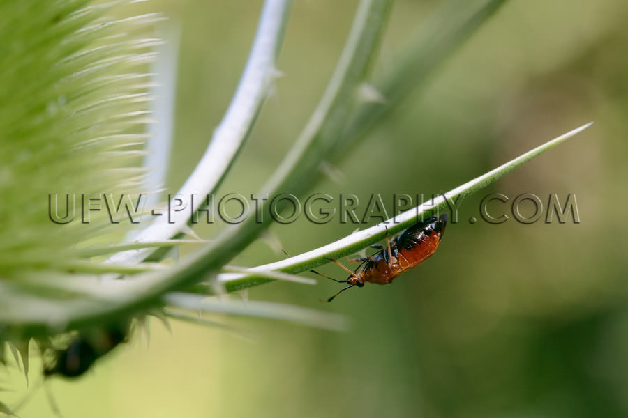 Brown beetle hanging on the leaf of a thistle, macro - Stock Ima
