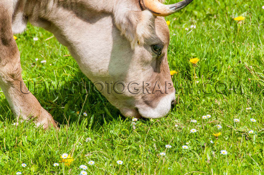 Dairy cow grazing snout grass pasture eating head close-up XL St