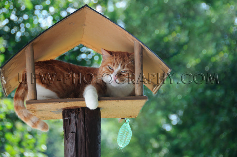 Funny red white cat sleeping in birdhouse green leaves Stock Ima