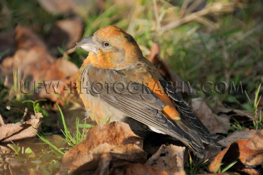 Orange brown crossbill bird sitting fall foliage close up Stock