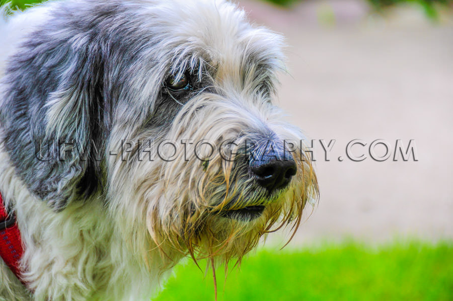 Shaggy dog face head-shot portrait pon sheepdog close-up Stock I