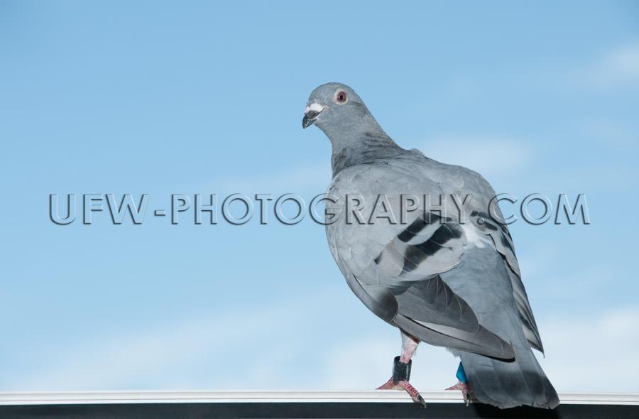 Standing homing pigeon looking leg-rings blue sky close-up Stock