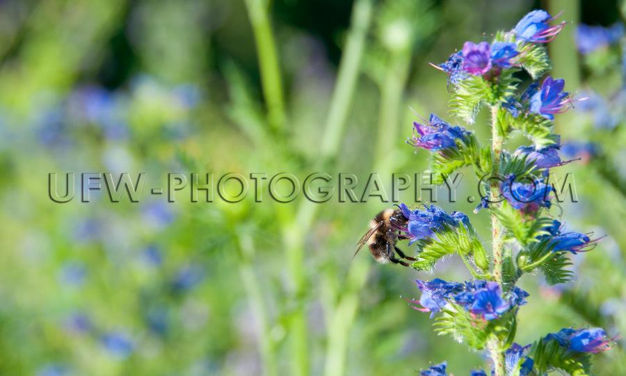 Biene Saugt Nektar Aus Blauer-Natternkopf-Blüte Stock Foto