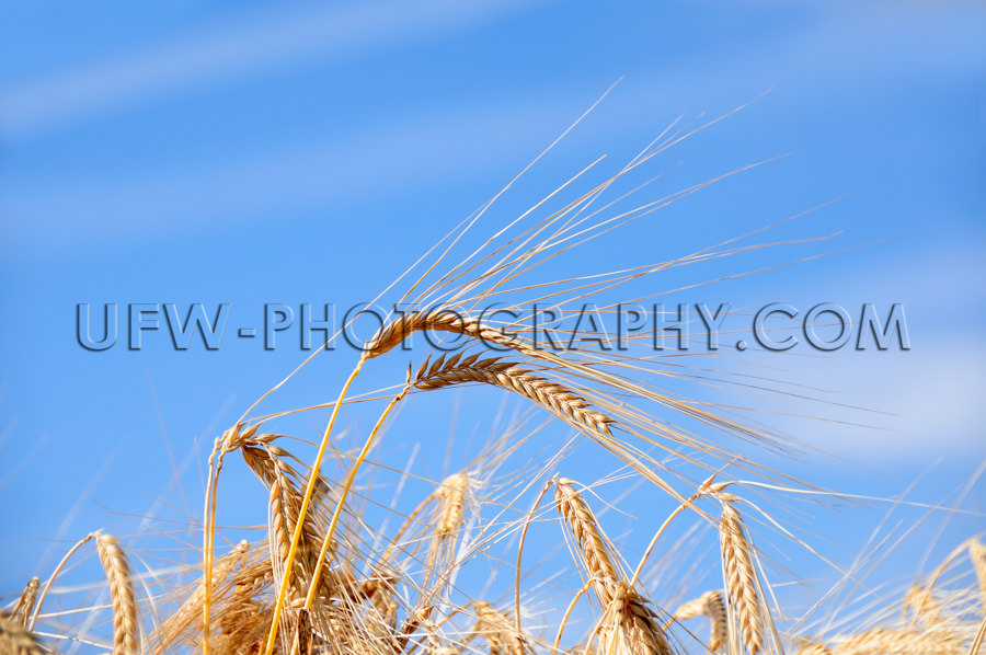 Getreide Weizenähren Vor Blauem Himmel Makro Nahaufnahme Stock