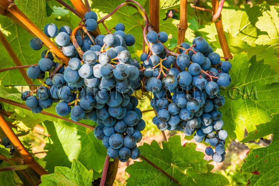 Große Blaue Trauben Reif Weinrebe Grüne Blätter Herbst Stock