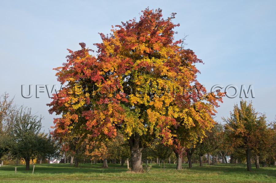 Großer Birnbaum Eindrucksvoll Herbst Farben Streuobstwiese Oran