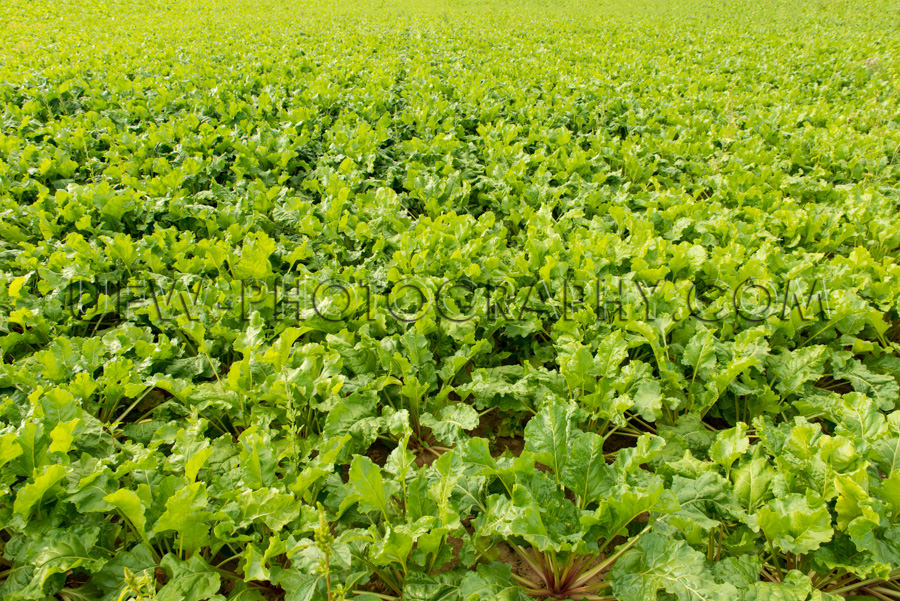 Grünes Gemüse Überfluss Wachsen Ackerboden Feld Vollformat St
