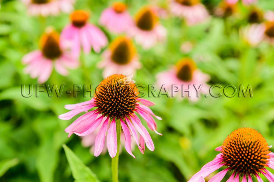 Blüte Biene Schön Blütenkopf Echinacea Sonnenhut Nahaufnahme