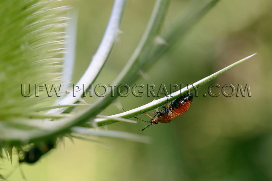 Brauner Käfer hängt am Blatt einer Distel Makro Stock Foto