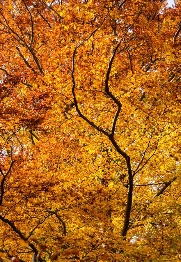 Braunes Goldenes Blätterdach Wald Baumwipfel Bunt Herbstlaub St