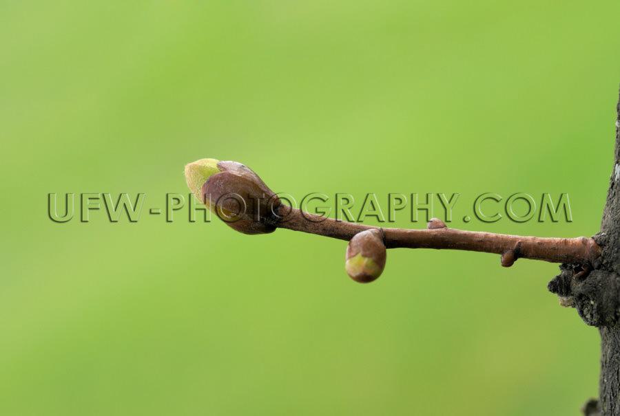 Frühling Knospe Makro Bild Grün Verschwommener Hintergrund Tex
