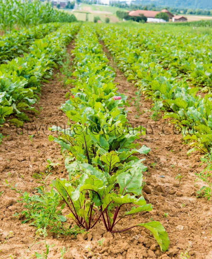 Grünes Gemüse Reihen Wachsen Ackerboden Bauernhaus Landwirtsch