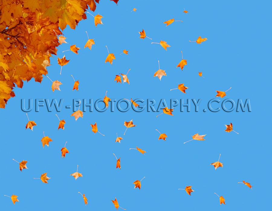 Herbst Blätter Viele Fallen Bunt Fliegen Baum Blauer Himmel Sto