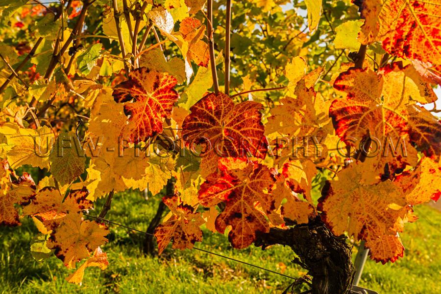 Schön Bunt Weinrebe Herbstlaub Rot Orange Gelb Stock Foto