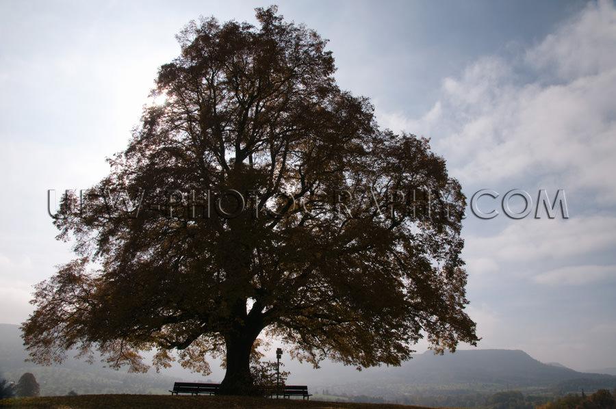 Silhouette Alt Einsam Linde Hügellandschaft Herbst Nebel Stock