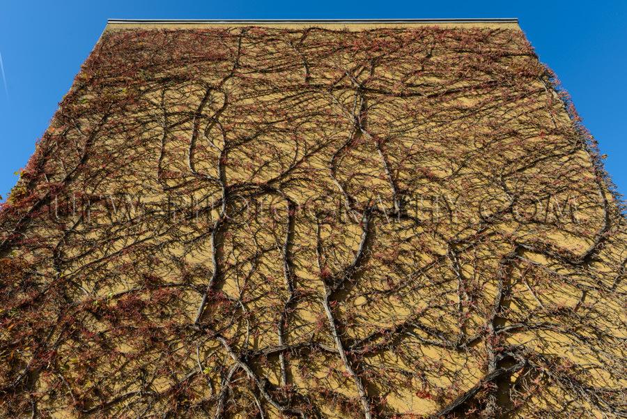 Wand Überwachsen Zweige Ranken Kletterpflanze Blattlos Abstrakt