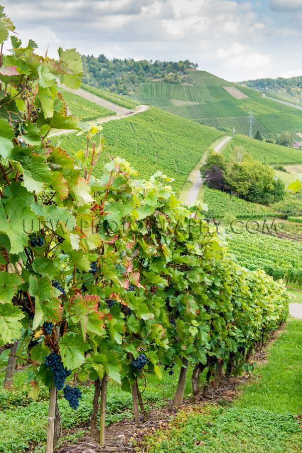 Weinberg Tal Schön Hügelig Landschaft Weinrebe Reihen Trauben