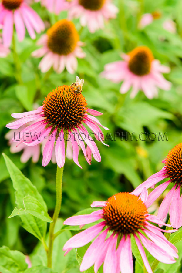 Blütenkopf Blüte Biene Echinacea Schön Nahaufnahme Stock Foto
