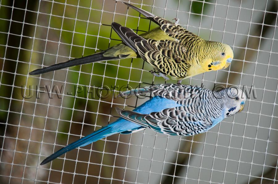 Gelb Blau Vögel Kanarienvogel Voliere Vogelkäfig Zaun Hängen