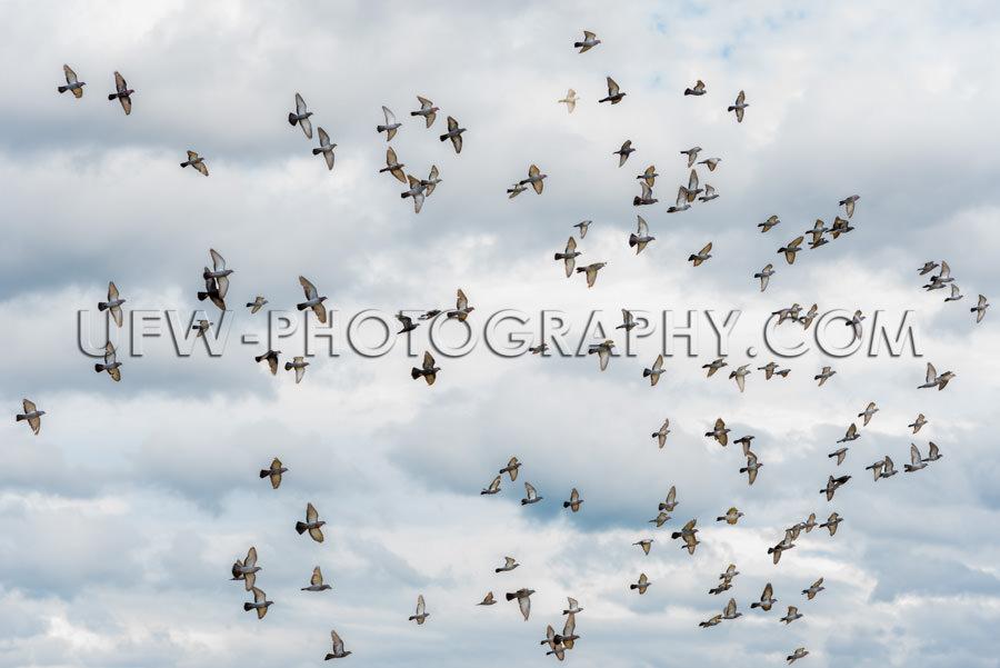 Schwarm Tauben Fliegen Grau Bewölkter Himmel in der Luft Vogelz