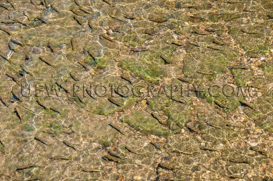 Schwarm Fische Schwimmen Im Klaren Wasser Blick Von Oben Stock F