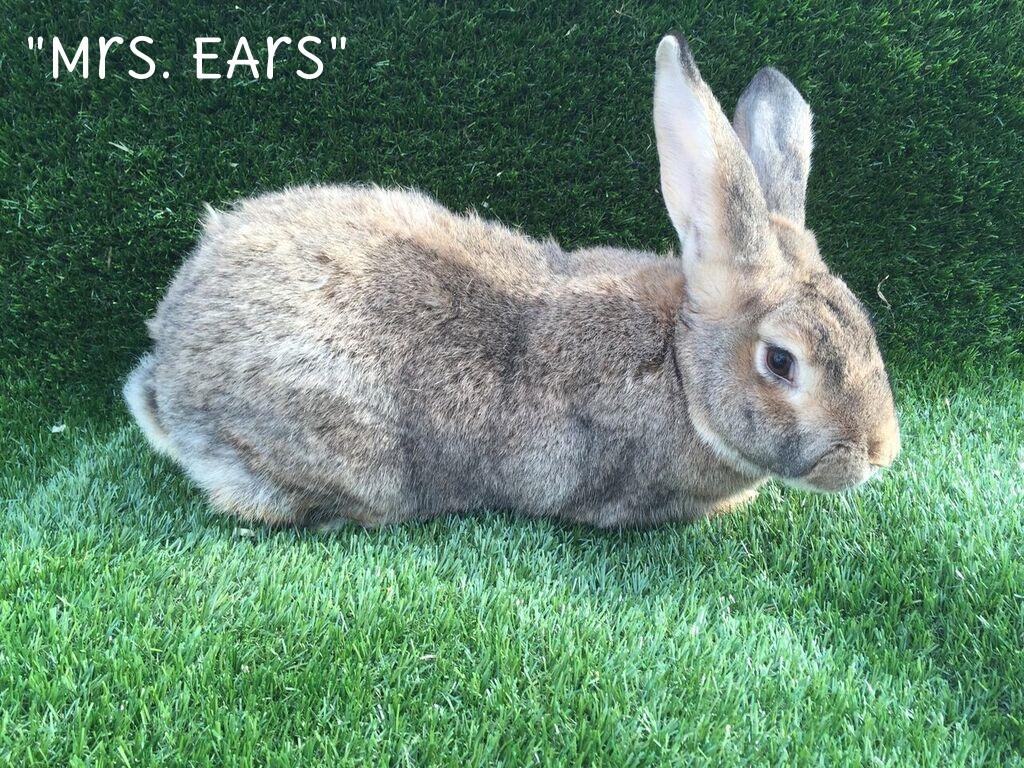 Mrs.Ears.jpg