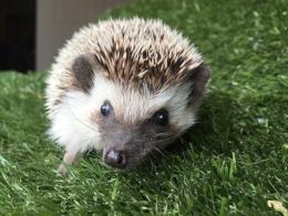A-hedgehog3.jpg