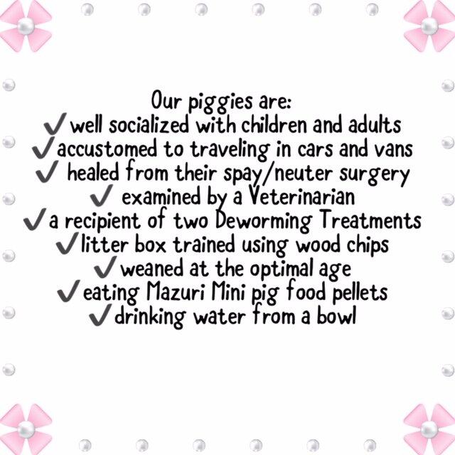 Mini Teacup Pigs For Sale Mini Teacup Pig Adoption Squeals On Wheels