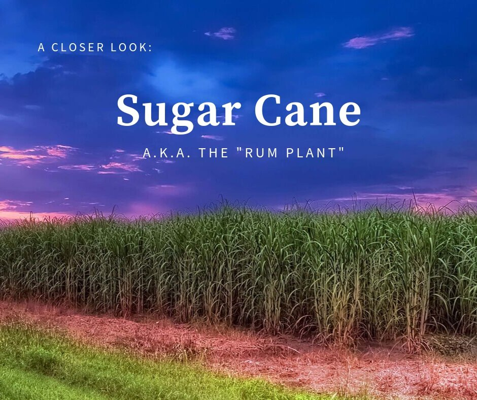 A field of sugar cane grown in Louisiana.
