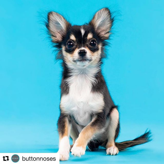 #Repost @buttonnoses with @get_repost ・・・ Remember Frankie the little puppy in our rescue with a heart disease? He urgently needs your help to save his life with corrective surgery. Please read the whole story on his #gofundme page and donate if you can.  He is so young and so little, with your help he can live a long and happy life. If he does not go in for surgery, he is expected to go into heart failure in less than a year 😭  GoFundMe.com/savingfrankie  Many thanks to @offleashstudio for the breathtaking photos of the handsome little man.  #savingfrankie #buttonnosesrescue