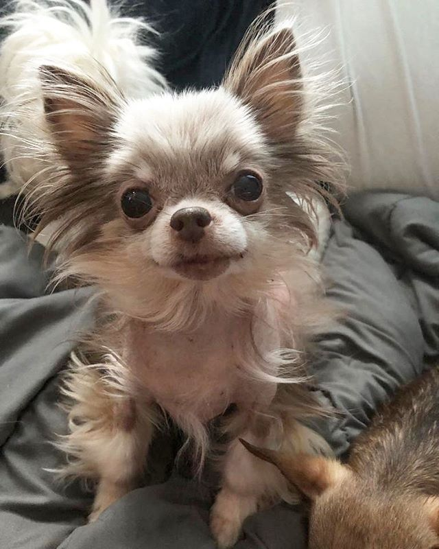 Haiii! Popping in to say hi from Blu- thanks for supporting my brother Frankie everyone ❤️❤️❤️ #buttonnoses #gofundme #tinydog #toronto #teacup #alopecia #adoption #adorable #petsofinstagram #rescue #recovery #rescuedogs #chiwawa #chihuahua #blu #chichi #dogsoftoronto