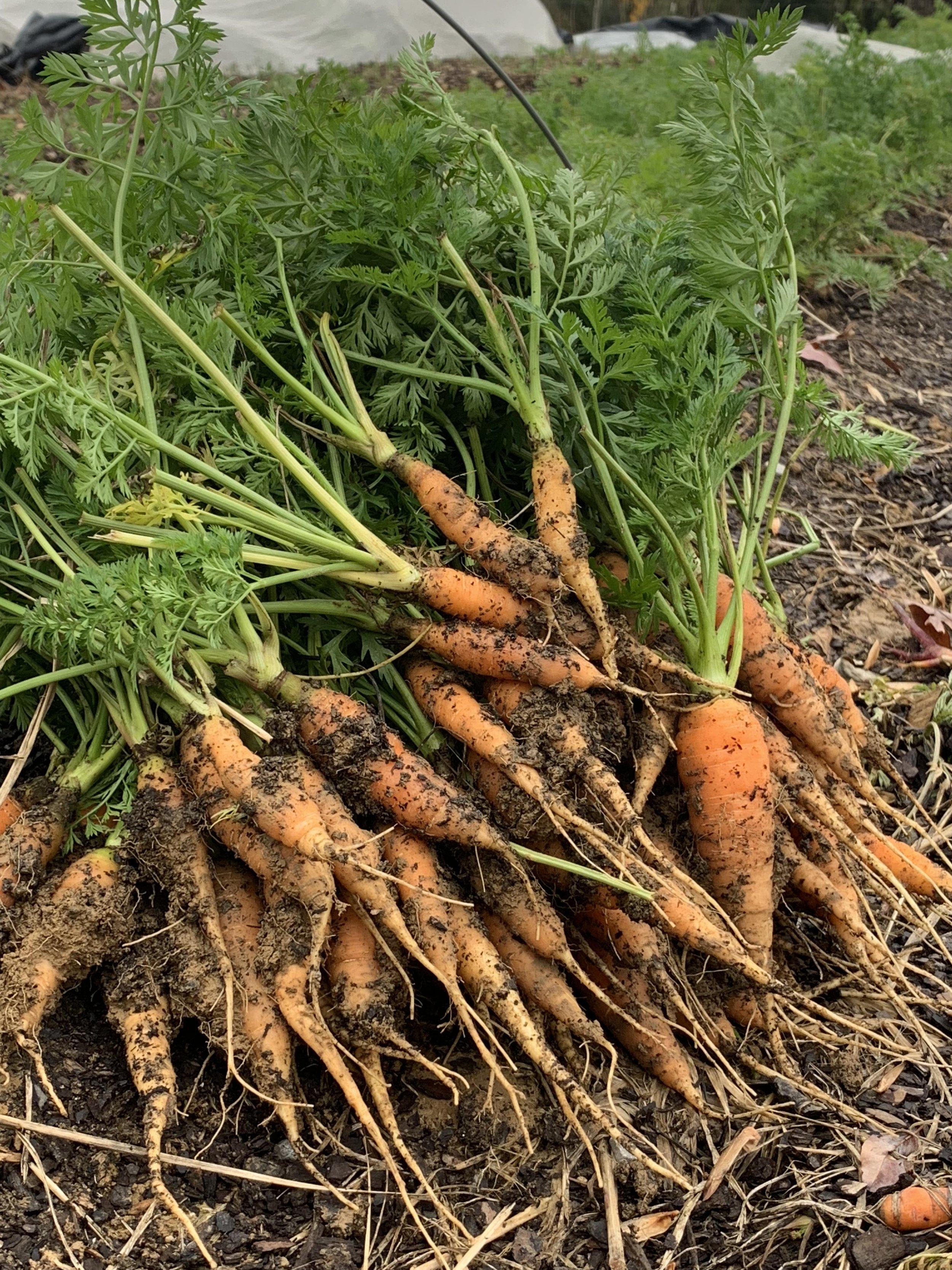 Carrots Baby.jpg