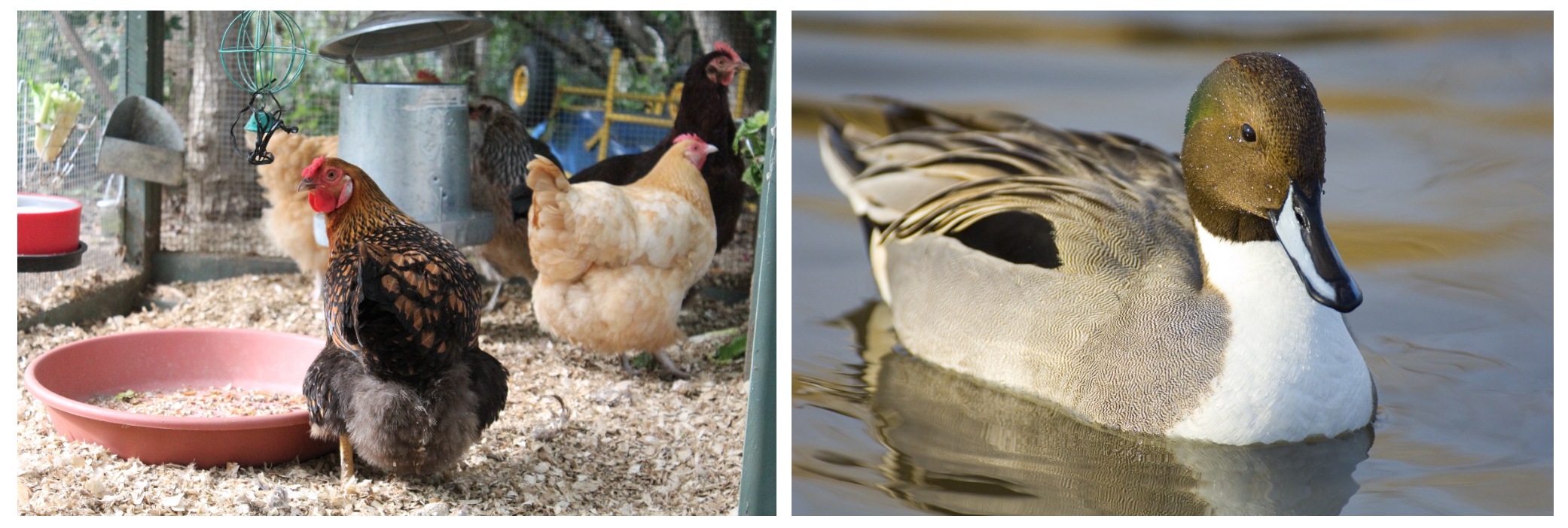 Left: Backyard chickens, Long Island, NY. Credit Erica Cirino. Right: Northern pintail duck (male), Japan. Credit U.S. Geological Survey.