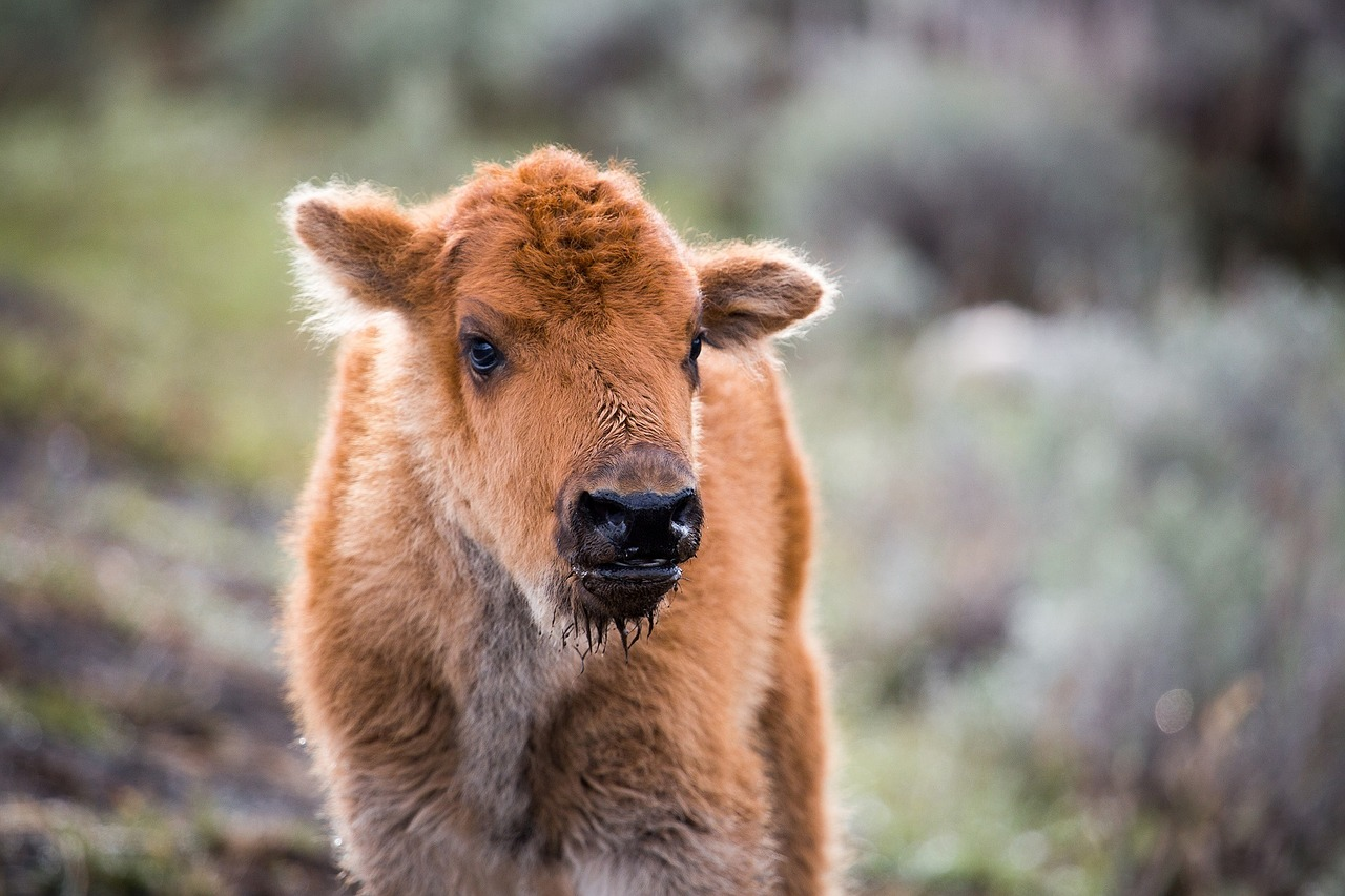 "Baby bison, like that park rangers decided to kill at Yellowstone National Park in May after two well-meaning humans tried to ""help"" him.  Credit: Skeeze (Pixabay.com)"