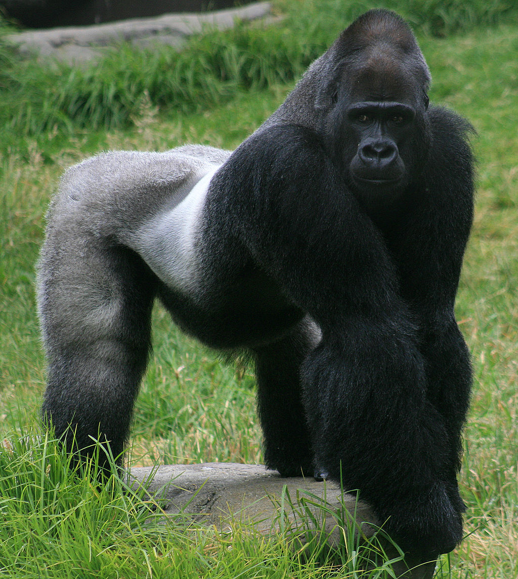 A male Western (silverback) gorilla, like Harambe, in a zoo exhibit.  Credit: Brocken Inaglory (Wikimedia.org)