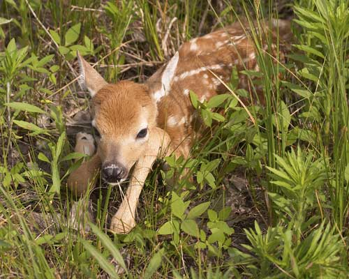 A newborn fawn like that I watched over.  Credit: Jerry Segraves (Wikimedia.org)