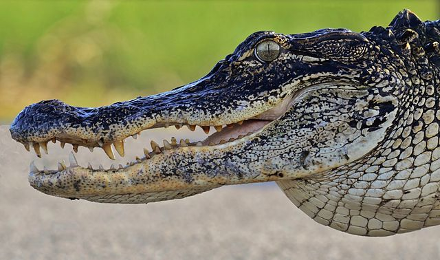 An American alligator, like that which took Lane Graves at Disney's Seven Seas Lagoon. Credit: Gareth Rasberry (Wikimedia Commons)