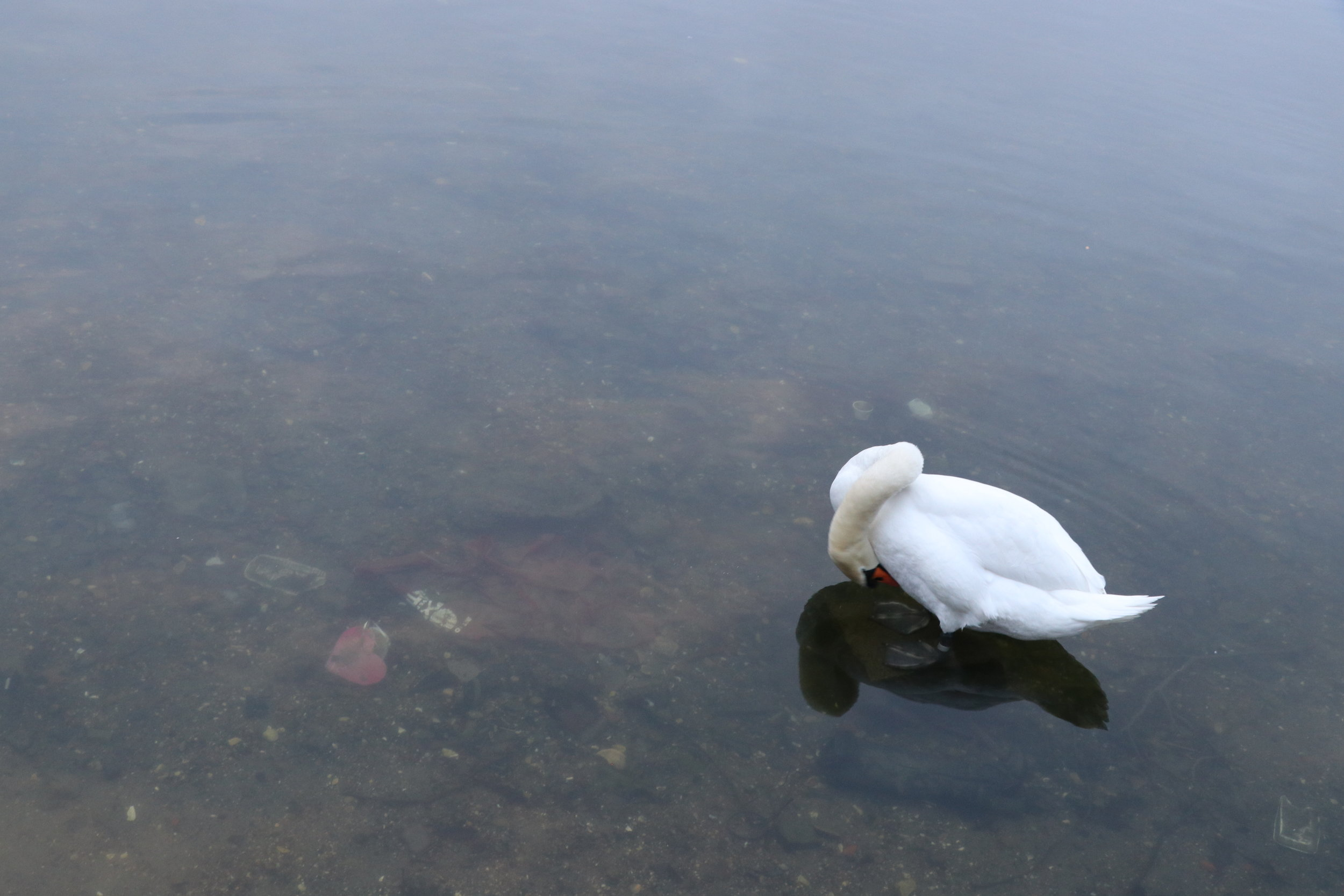 ©Erica Cirino. Mute swan in trash-filled water.