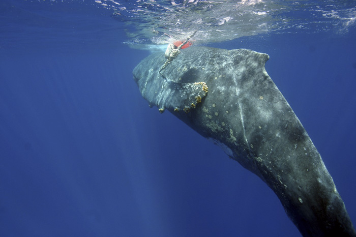 Humpback whale entangled in fishing gear off Hawaii. Photo: NOAA