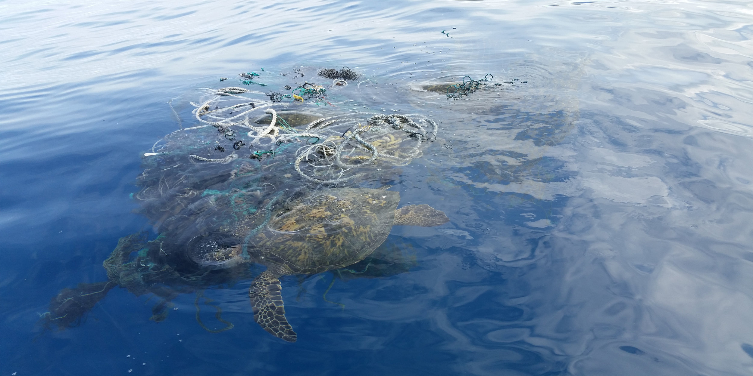 Entangled green sea turtle cannot remove itself from discarded fishing nets and ropes. Photo: Petty Officer 1st Class Matthew Young (U.S. Coast Guard/Released)