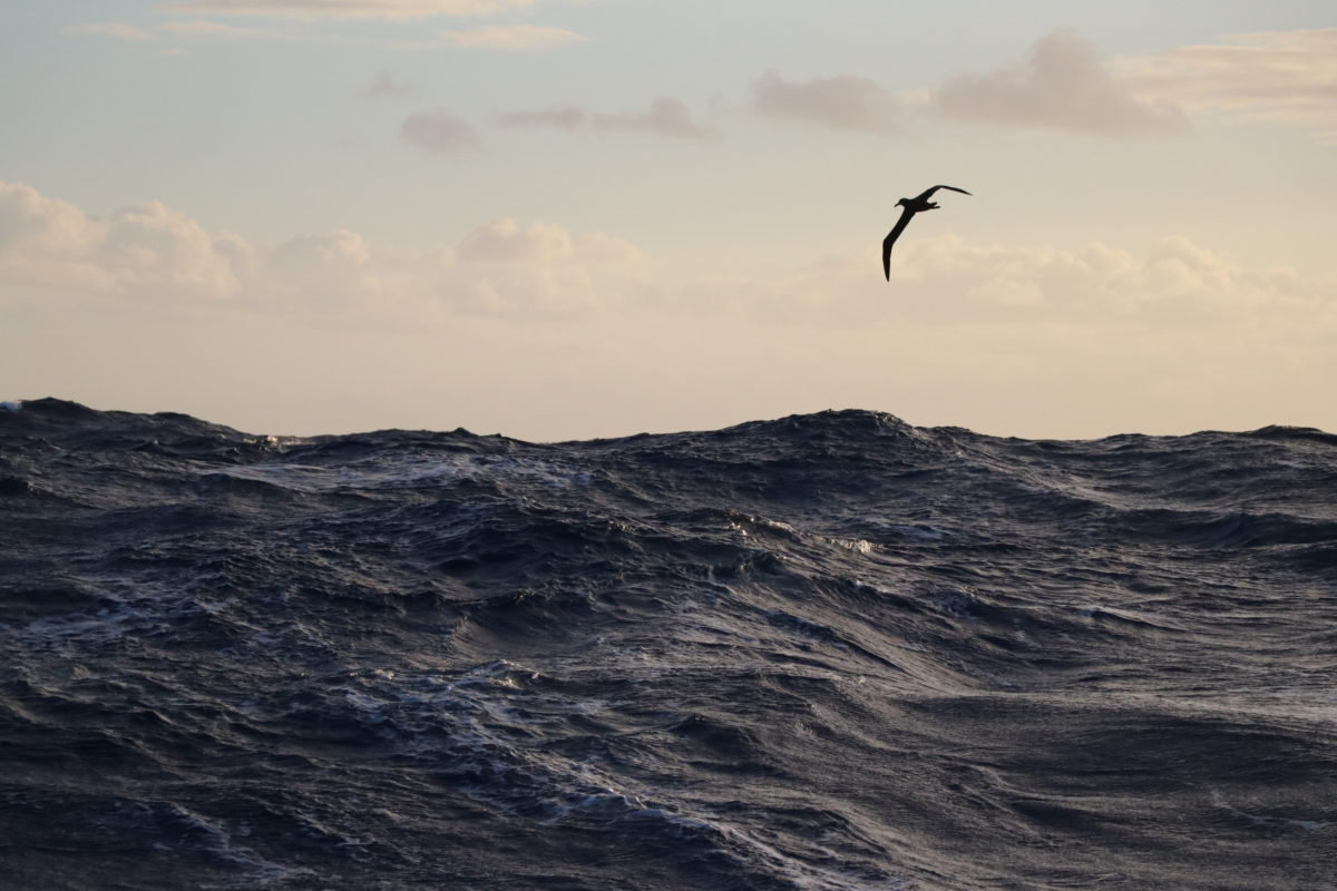Black-footed albatross, Eastern North Pacific Ocean. Photo: Erica Cirino