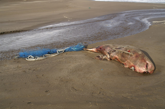 Risso's dolphin on Norwick beach, UK, dead from apparent entanglement in fishing gear. Photo: Mike Pennington