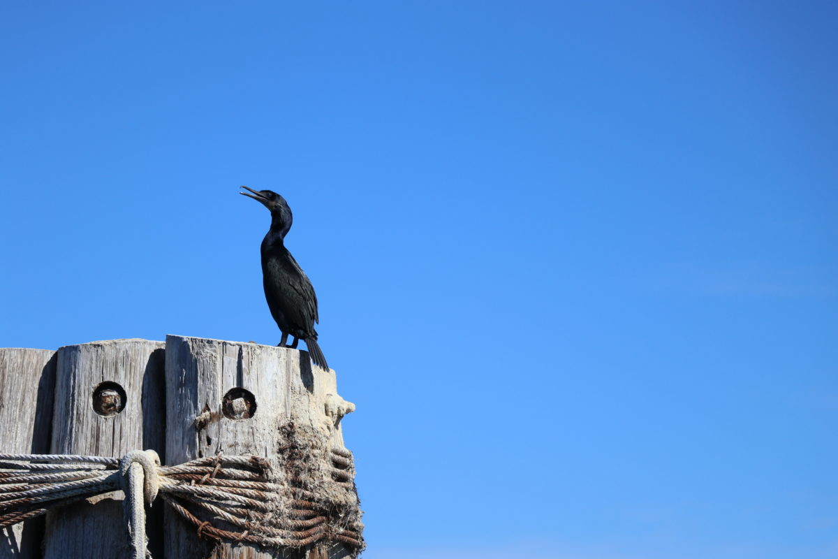 Pelagic cormorant on Monterey Bay, off the coast of California. Photo: Erica Cirino