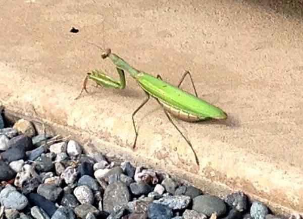 Praying mantis hunting for ants