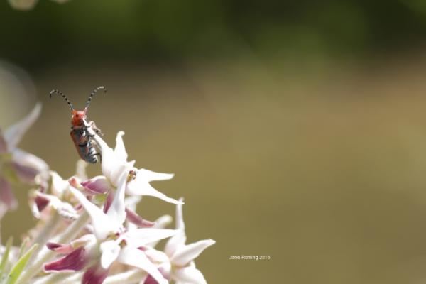 Red milkweed beetle, tetraopes tetrophthalmus