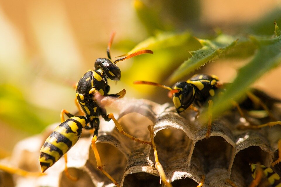 Paper wasps can be identified by their orange antennae. Yellowjackets (like the one pictured at the top of this article) have black antennae.