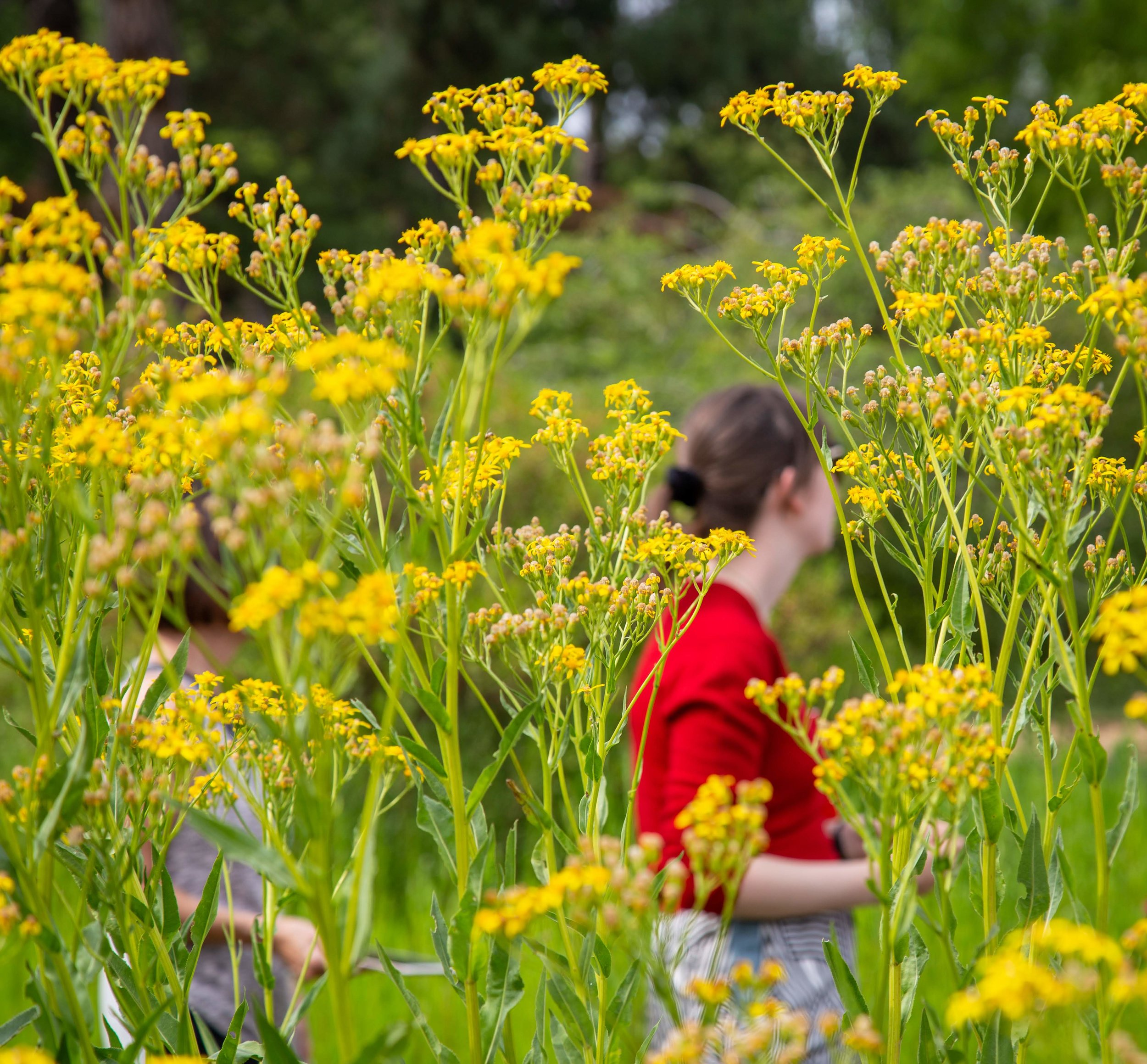 Botanic Gdn yellow flowers + red shirt **.jpg